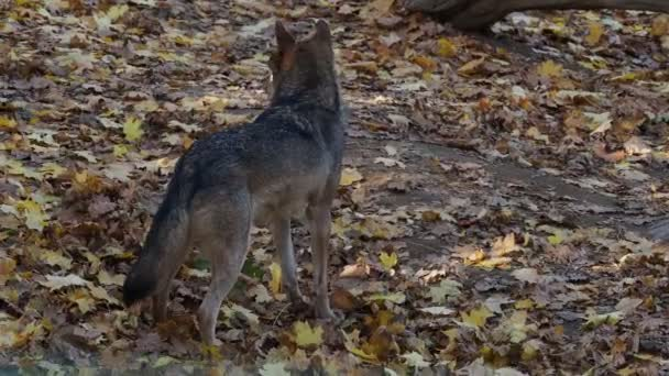 Evropské šedý Vlk (canis lupus lupus)