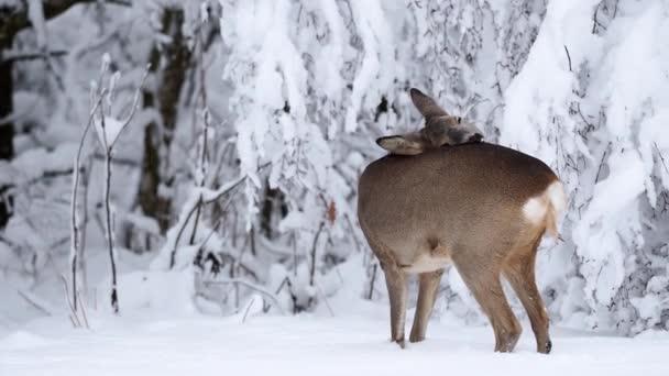 Srnec v zasněženém lese. Capreolus capreolus. Wild srnec v zimní přírodě.