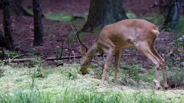 Roe deer in forest; Capreolus capreolus. Wild roe deer in nature.