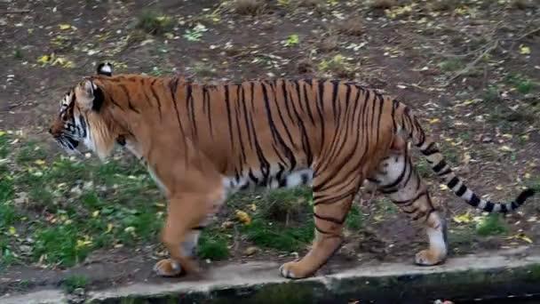 Maláj tigris (Panthera tigris jacksoni)