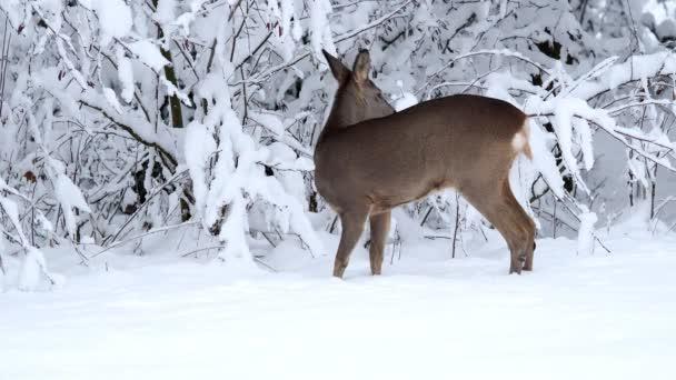 Őz a havas erdőben. Capreolus capreolus. A téli táj vad őz