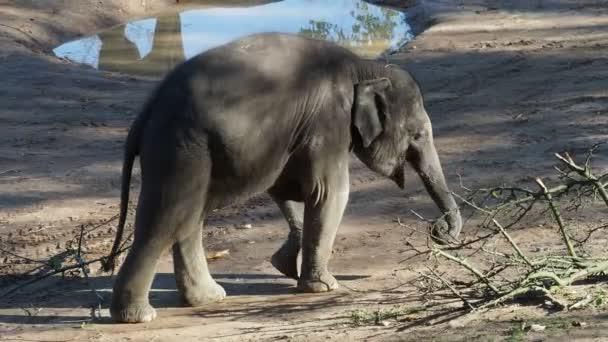 Cute indian baby elephant. Endangered animal.