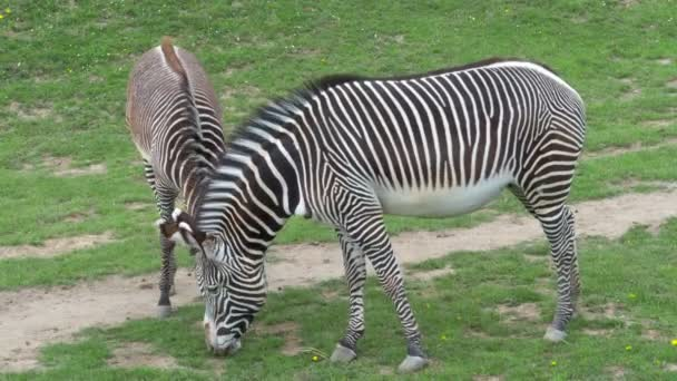 Stádo Grevyho zebry (Equus grevyi) pasoucí se na zelené trávě