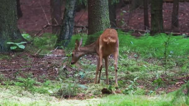 Roe jelen v lese, Capreolus capreolus. Jikry divoké v přírodě.