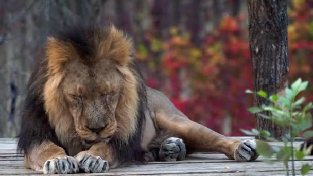 Leone asiatico (Panthera leo persica). Una specie in pericolo critico