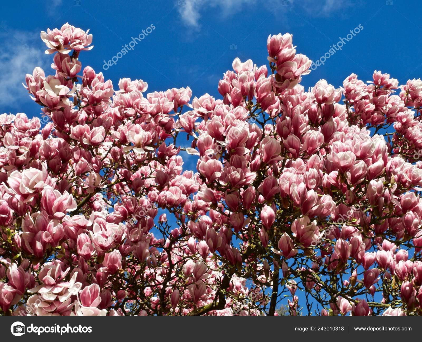 Big Magnolia Tree Blooming Full Pink Magnolia Blossoms Stock Photo