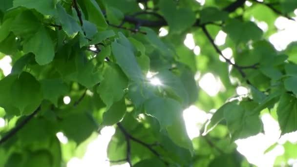 Lindenblätter im Gegenlicht groß geschossen