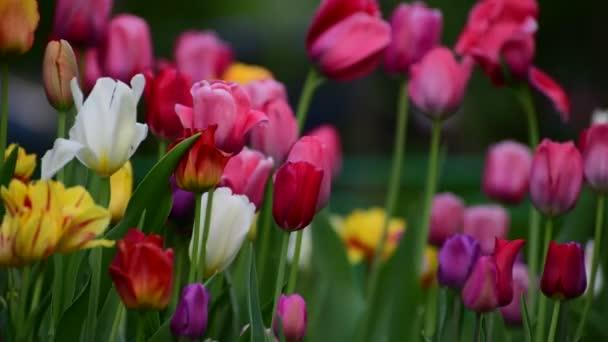 Tulipány z různých barev a zahrady v záhonu