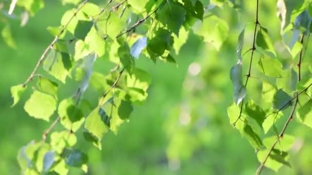 Mladé březové listí na jaře v podsvícení