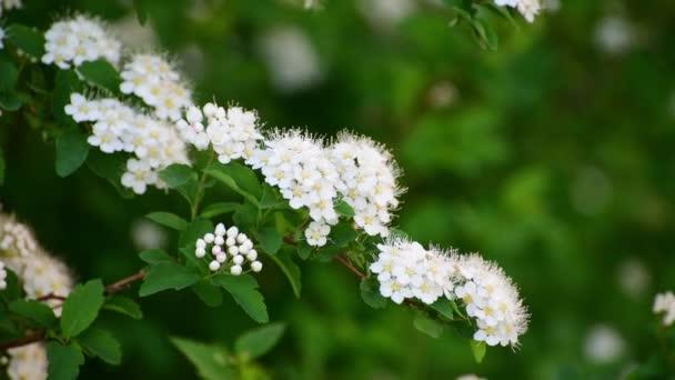 Zweig Strauch mit weißen Blüten im Frühjahr — Stockvideo © olenka ...