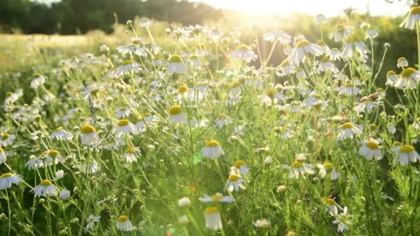 vad réten a százszorszépek a lenyugvó nap sugarai
