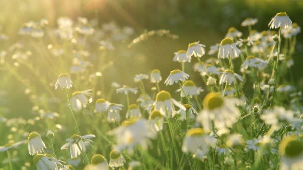Mnoho polí chamomiles v paprscích zapadajícího slunce