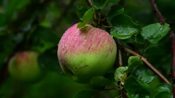 Jabloň s jablky je mokrá od deště
