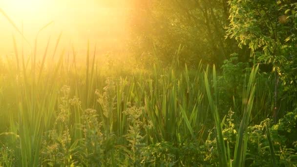 sítina zarostlé bažiny při západu slunce