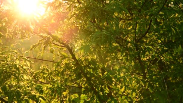 Javor jasanolistý - javor v paprscích zapadajícího slunce