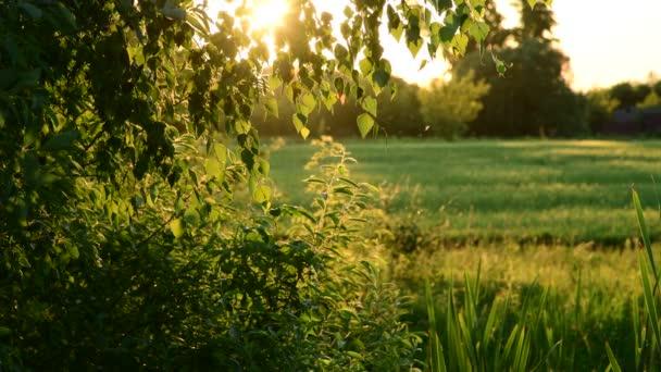 stromy, tráva, komáři v paprscích zapadajícího slunce