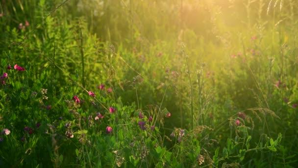 a lenyugvó nap sugarai vad réten virágok