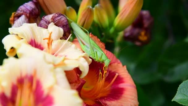 green grasshopper eats pollen on flowers of lily