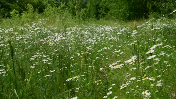 Many field daisies in the meadow in summer