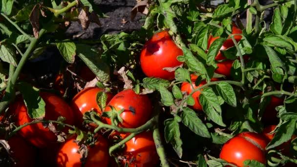 Zralá červená rajčata jsou pěstována v zemi