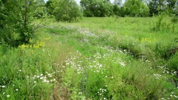 Edge of the forest with blooming daisies