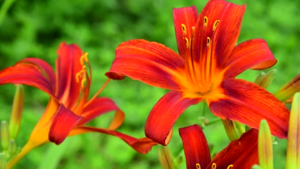beautiful bright red day lily