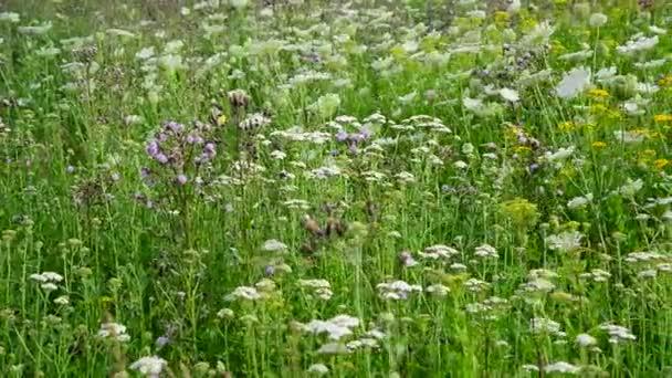 Divoká tráva kvetou v létě louku v Rusku