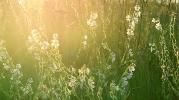 The Meadow grass and Saponaria at sunset. Nature of Russia