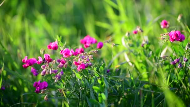Fragment of beautiful meadow with pink flowers, Russia