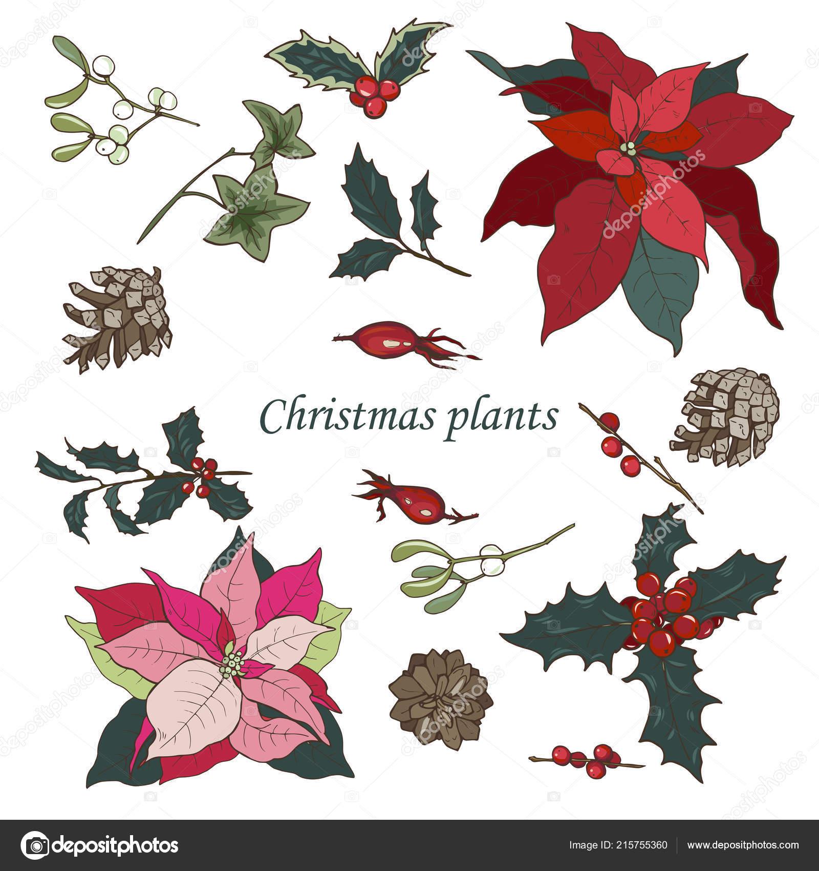 Pianta Stella Di Natale Prezzo.Piante Natale Impostate Sfondo Bianco Stella Natale Agrifoglio Coni