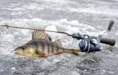 Téli sügér halászat trófea