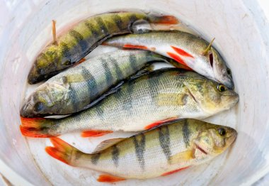 Fresh caught perch fishes