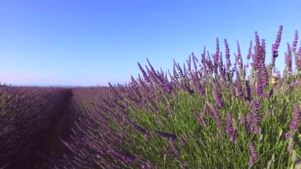 Levendula mező-Provence, közelében Valensole, Franciaország
