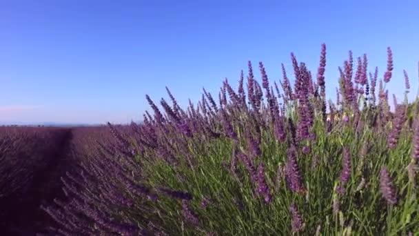 Levandulová pole v Provence, v blízkosti Valensole, Francie
