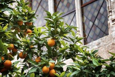 Bloomy orange garden in Valencia. Spain stock vector