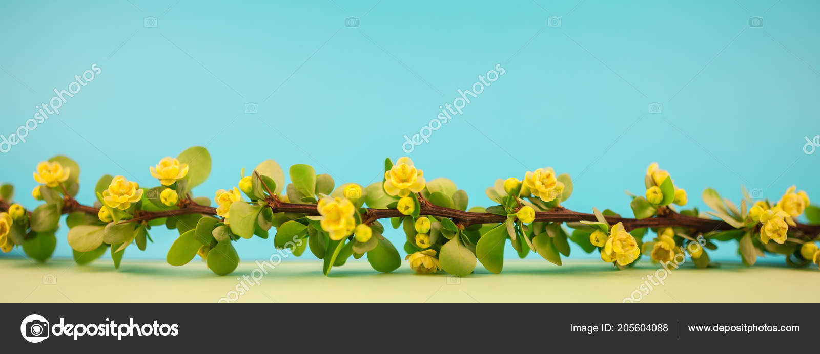 Spring blossoming barberry branch green leaves barbs yellow flowers spring blossoming barberry branch green leaves barbs yellow flowers pastel stock photo mightylinksfo