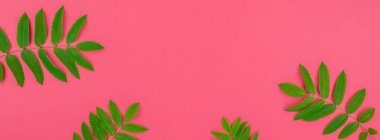 Creative flat lay top view pattern with fresh green rowan tree leaves on bright pink background with copy space in minimal duotone pop art style, frame template for text. Long wide banner stock vector