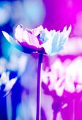 Neon tónusú tulipán virágok háttér