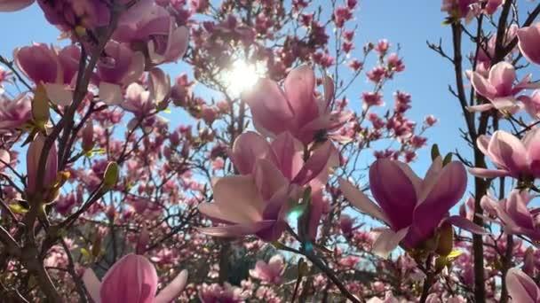 Růžové magnólie květiny kvetoucí větve stromů se slunečním světlem na Lyonu, Francie ulice. Video 4K