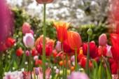színes tulipánok a parkban.
