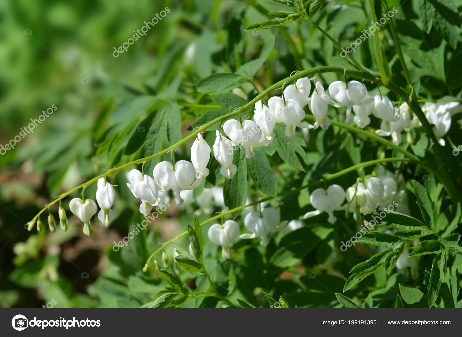 Bleeding Heart White Flowers Latin Name Lamprocapnos Spectabilis ...