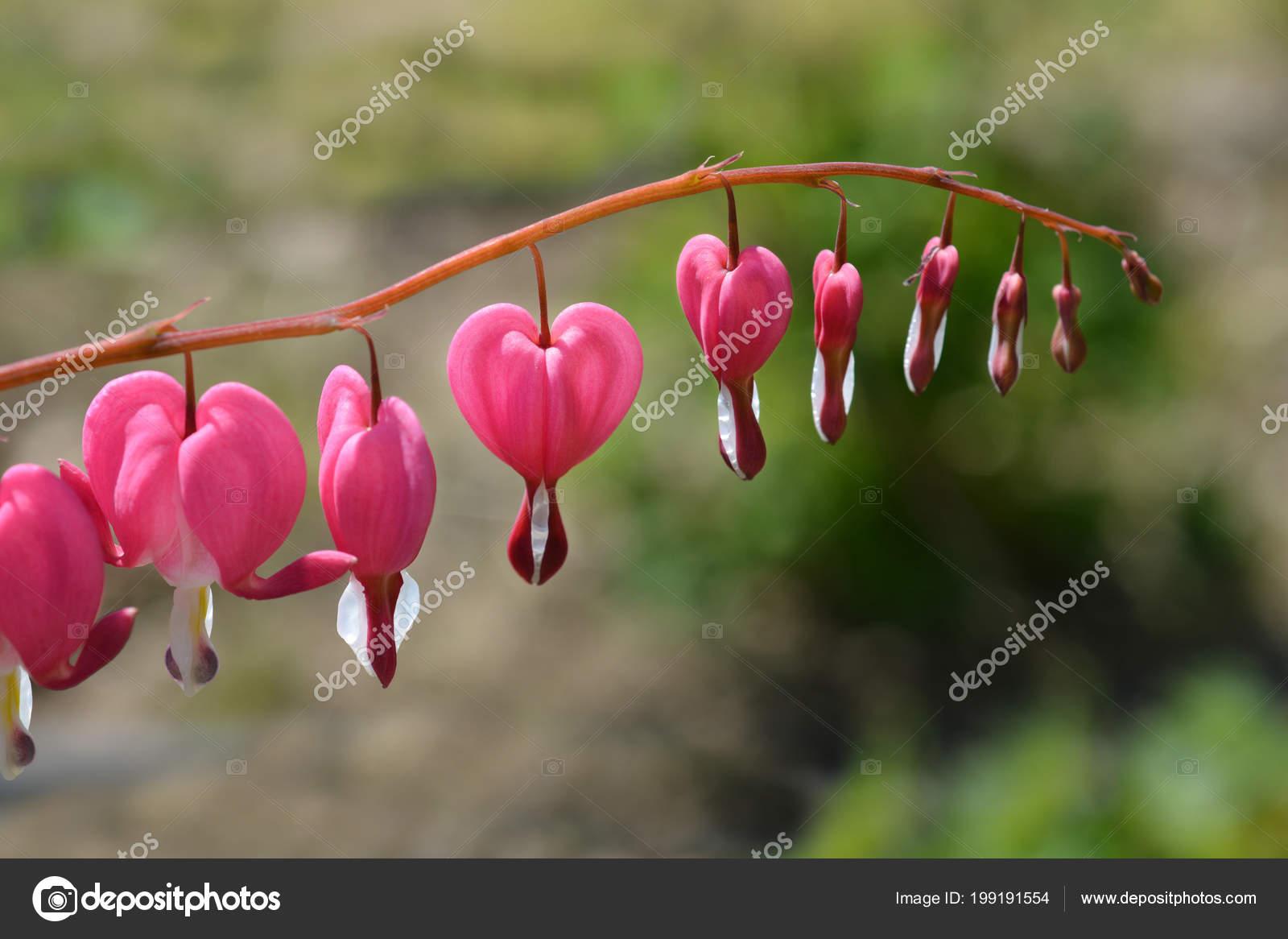 Bleeding Heart Pink Flowers Latin Name Lamprocapnos Spectabilis Old