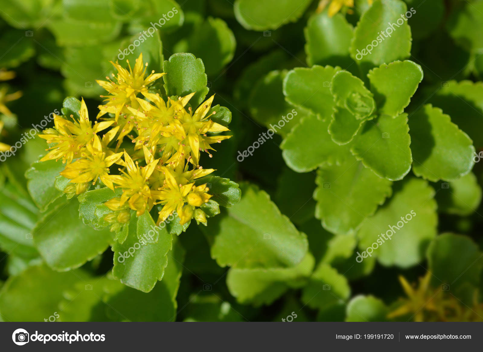 Stonecrop Flores Amarelas Nome Latino Sedum Selskianum Stock Photo