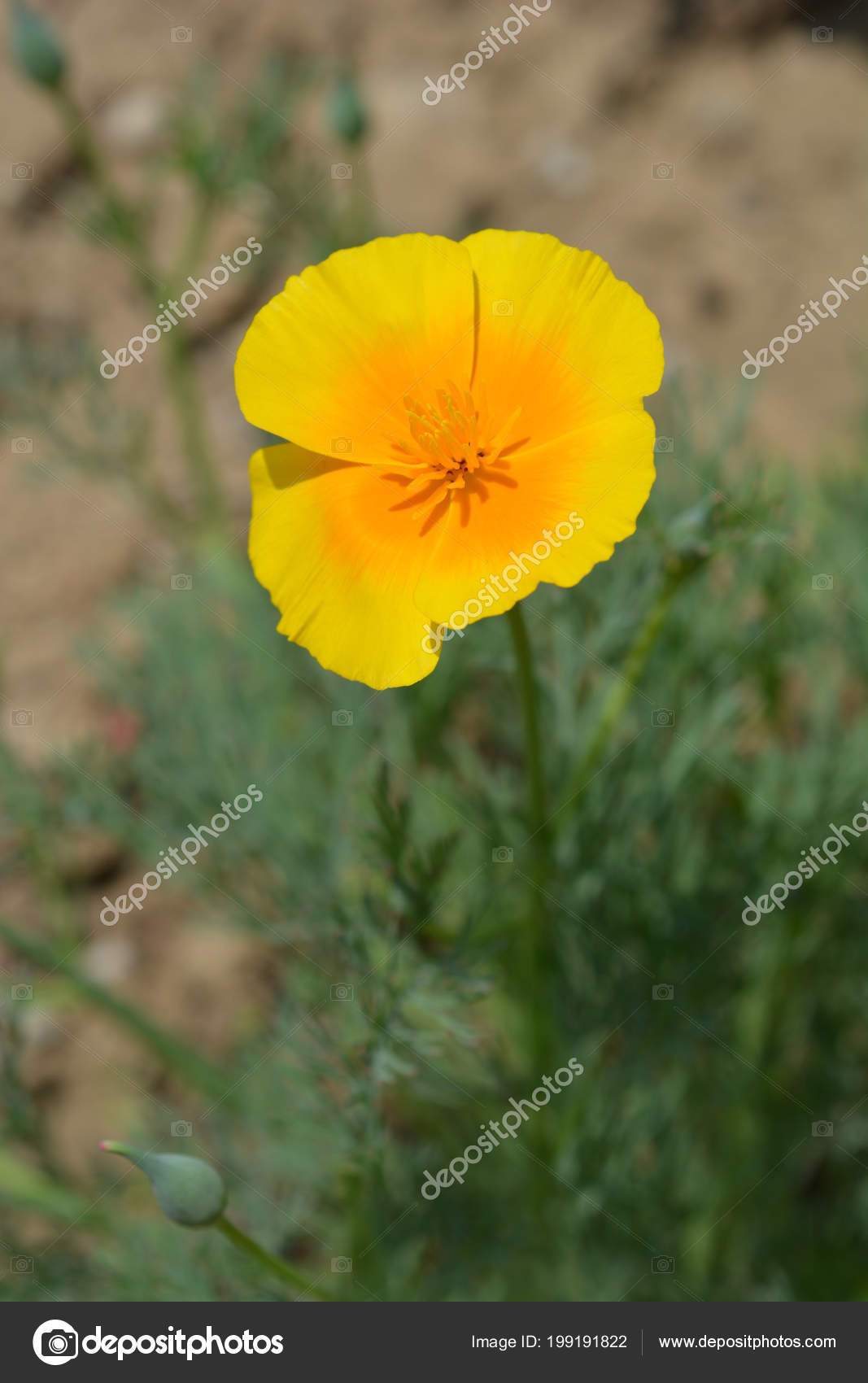 Close Golden Poppy Flower Latin Name Eschscholzia Californica