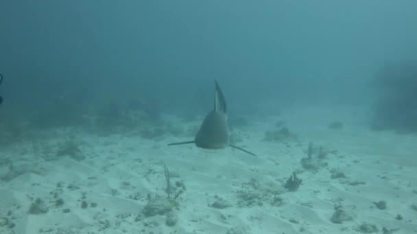 Blacktip reef shark, a Karib-térségben. Kamera kézi. Scuba Diver hangok.