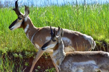Two Antelope walking together at Custer State Park, South Dakota.