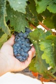 Fotografia Farmer Holding Cluster of Grapes on The Vine in His Hand.