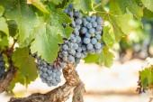 szőlő, buja, érett szőlő a szőlő kész betakarításra