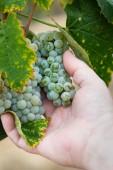 Fotografia Coltivatore con grappolo duva sulla vite in mano