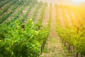 Krásné vinných hroznů vinice v ranním slunci